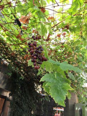Grapes at Friðheimar