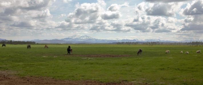 Horses and sheep and Hekla Volcano